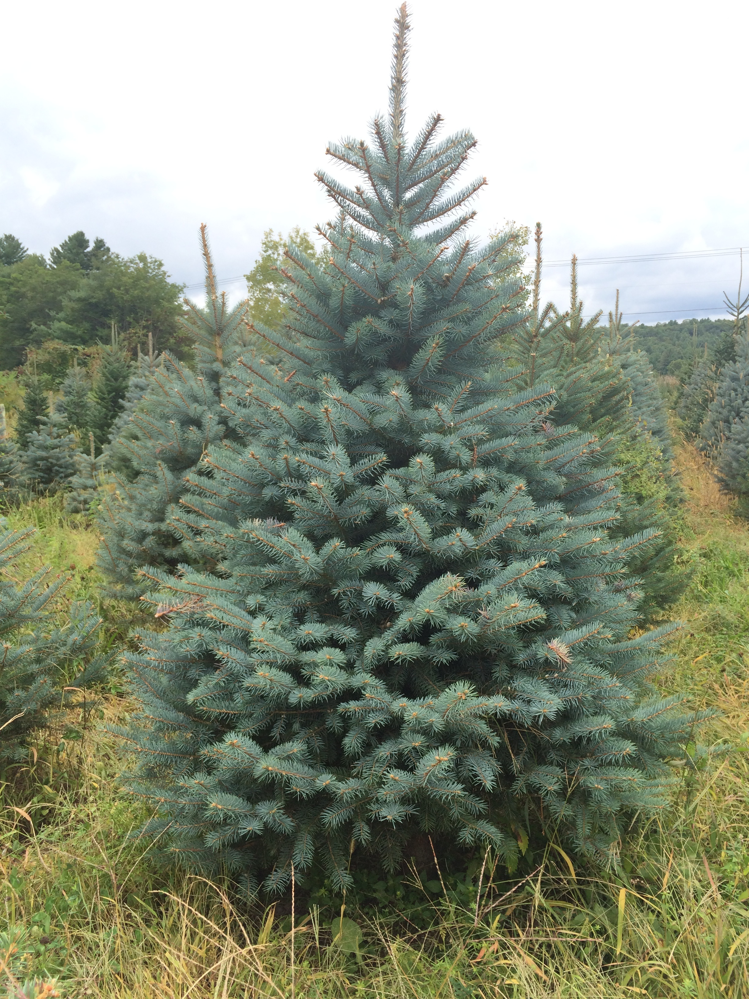 Christmas Tree Farm In Virginia