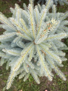 Young New Hartford Blue Spruce