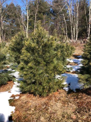 2018 White Pine